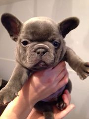Quality Chunky Solid Blue Kc French Bulldogs