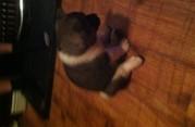 4 Chunky Akita Pups