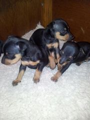 Beautiful Miniature Pinscher Puppies