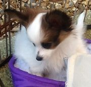 Beautiful Papillon Puppies