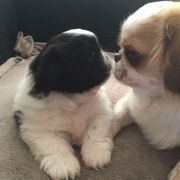 Beautiful Pekingese Puppies